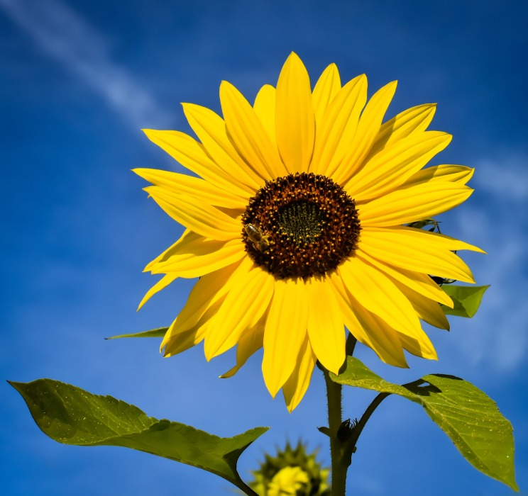 sunflower-4482898_1920